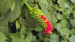 red kernels